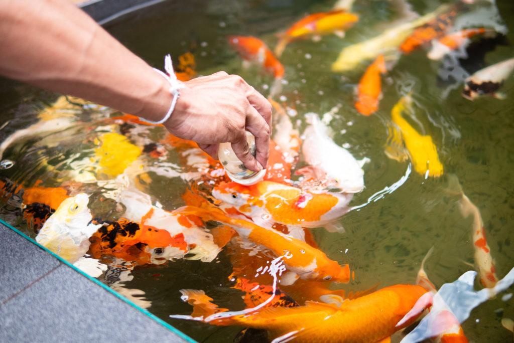 鯉に餌をあげている人がいました。
