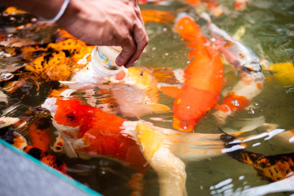 タイの鯉です。
